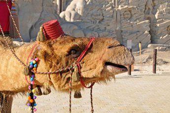 amir-camel-walkabout6