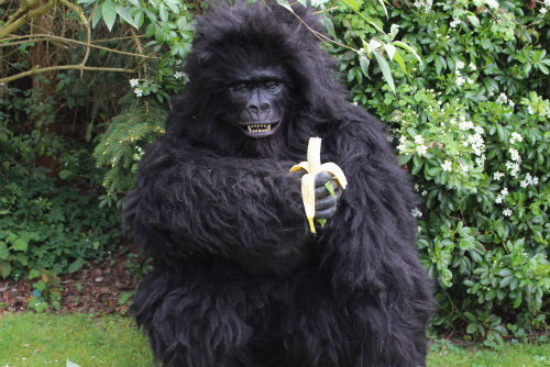 Hire / Book giant animatronic gorilla walkabout gorilla